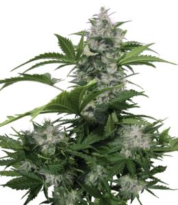 CannabisPlant.png